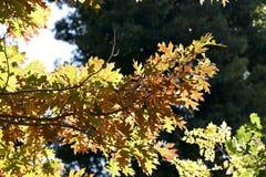 秋天黄色橡木叶子 免版税库存图片