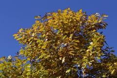 秋天黄色橡木叶子 库存图片