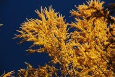 秋天黄色落叶松属 库存图片