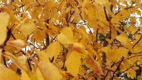 秋天黄色离开阿拉斯加 库存照片