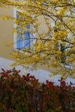 秋天黄色结构树 图库摄影