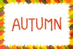秋天 花楸浆果 五颜六色的秋季叶子边界框架  免版税库存图片
