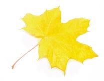 秋天Acer pseudoplatanus叶子 免版税图库摄影
