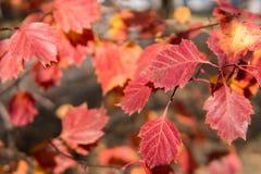 秋天dof留下红色浅 树在一个公园在晴天 图库摄影