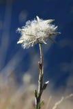 秋天edelweiss 免版税库存照片