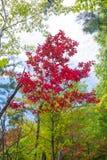 秋天Sourwood树 库存图片