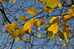 秋天yelllow桦树绿色叶子在与蓝天的背景分支 免版税库存图片