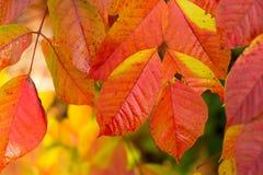 秋季五颜六色的叶子在日本 库存图片