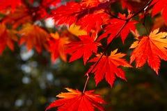 秋季五颜六色的叶子在Shiretoko,日本 库存照片