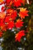 秋季五颜六色的叶子在Shiretoko 库存图片