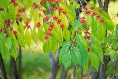 秋季叶子和果子 库存图片