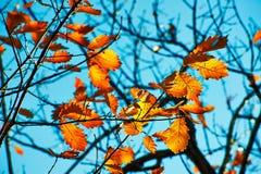 秋季叶子和深蓝天空 库存图片