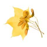 秋季叶子槭树透亮黄色 免版税库存照片