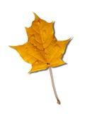秋季叶子槭树黄色 库存照片