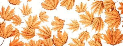 秋季叶子槭树 库存图片