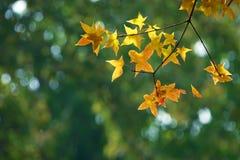 秋季叶子槭树 图库摄影