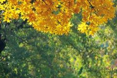 秋季叶子槭树 免版税库存图片