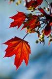 秋季叶子槭树 免版税图库摄影