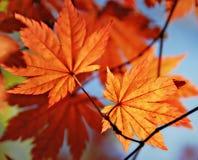 秋季叶子槭树 库存照片