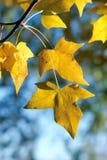 秋季叶子槭树 免版税库存照片