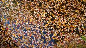 秋季图象的许多五颜六色的槭树在水中把漂浮在秋天,秋天季节期间留在新英格兰 免版税库存图片