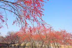 秋季忍冬属植物树丛 免版税库存图片
