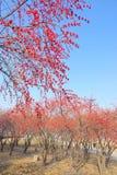 秋季忍冬属植物树丛 图库摄影