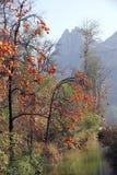 秋季柿树 图库摄影