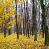 秋季森林 后秋天 阴云密布 图库摄影