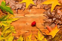 秋季概念 槭树烘干了叶子和玫瑰色花在自然光背景 在木的秋天五颜六色的叶子 免版税图库摄影