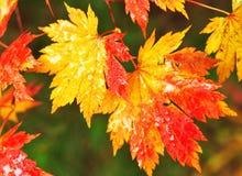 秋季槭树叶子在被弄脏的背景中 免版税库存图片