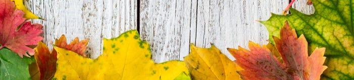 秋季槭树季节性框架横幅在白色木背景离开 免版税库存图片