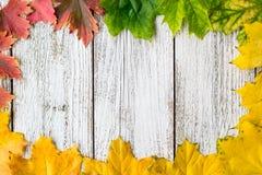 秋季槭树季节性框架离开与梯度颜色在白色木背景 免版税库存照片