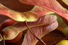 秋季槭树翼 免版税图库摄影
