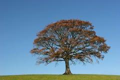 秋季橡木 免版税图库摄影