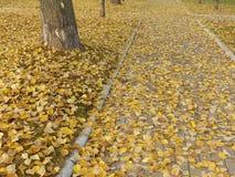 秋季白杨树叶子 免版税库存照片