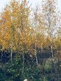 秋季白桦树 免版税库存照片