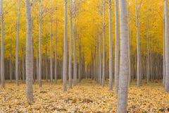 秋季的白扬树农场 库存照片