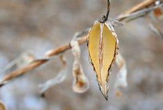 秋季种子 吹在秋天微风的乳草种子 免版税库存图片