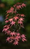 秋季背景, defocused红色marple叶子 免版税库存照片