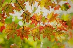 秋季自然风景 五颜六色的叶子槭树 免版税库存图片