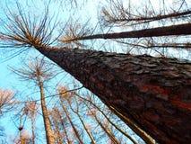 秋季落叶松属树细节 库存图片