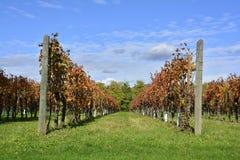 秋季葡萄树 图库摄影