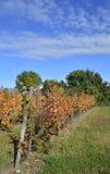 秋季葡萄树 免版税库存照片