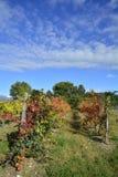 秋季葡萄树 库存照片