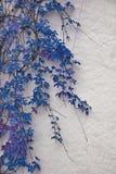 秋季蓝色常春藤细节在被绘的墙壁上的 在白色pla的叶子 免版税库存图片