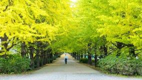 秋季银杏树在秋天,日本离开 免版税库存图片