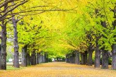 秋季银杏树在秋天,日本离开 库存图片