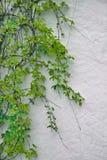 秋季绿色常春藤细节在被绘的墙壁上的 在白色pl的叶子 免版税图库摄影