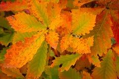 秋季dof留给橡木浅 免版税图库摄影